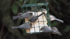 Bushtits on suet feeder Stock Footage