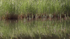 Dragonfly Flying over Reflecting Water Horsetails and Grass Slow Motion Stock Footage