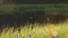 Dragonfly Hovering over Tall Grass Pond Water in Evening Light Stock Footage