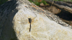 Dragonfly Resting on Sun Drenched Granite Boulder with Lichen Stock Footage