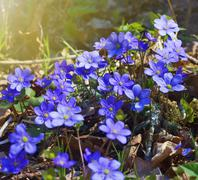 early spring blue flowers - stock photo