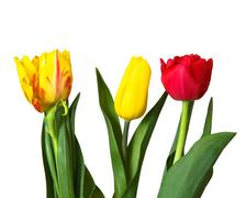 red, yellow tulips, isolated - stock photo