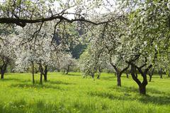 Blossoming orchard Stock Photos