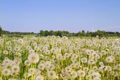 Stock Photo of field of dandelions