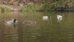 Ducks in a Pond Time Lapse Stock Footage