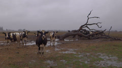 Herd of Curious Cows and Dead Tree in Rain Stock Footage