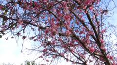 Cherry Blossom Trees Stock Footage