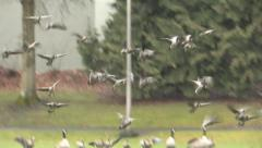 Canada Geese land in park Stock Footage