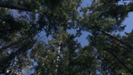 Stock Video Footage of Looking Up At Windy Forest Treetops Blue Sky Rotating