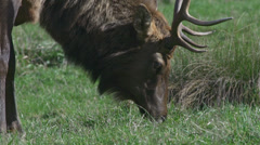 Majestic Roosevelt Elk Bull Grazing on Grass in Sunny Meadow Stock Footage