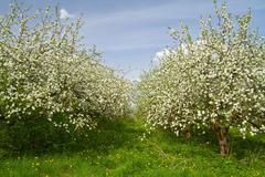 Apple garden blossom Stock Photos