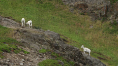 Mountain Goat Herd on Steep Rocky Windy Hillside in Alaska Stock Footage