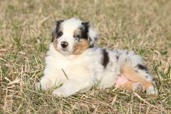 nice puppy of australian shepherd dog in early spring grass - stock photo