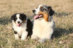 beautiful australian shepherd dog with its puppy - stock photo