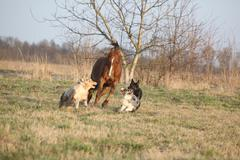 three dogs running with chestnut horse - stock photo
