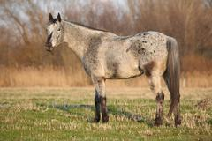 Gorgeous appaloosa standing in nature Stock Photos