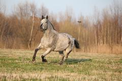 gorgeous appaloosa running in spring nature - stock photo