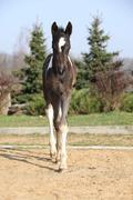 Skewbald foal running in outdoor Stock Photos
