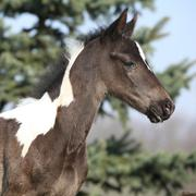beautiful skewbald foal in spring - stock photo