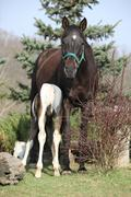 Nice brown mare with its piebald foal Stock Photos