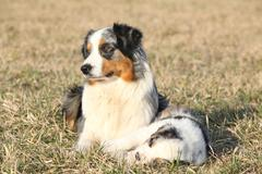 Beautiful australian shepherd dog with its puppy Stock Photos