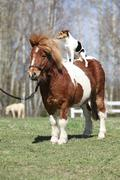 nice shetland pony with parson russell terrier - stock photo
