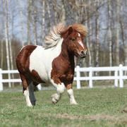 gorgeous shetland pony running - stock photo