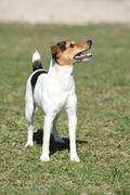 nice parson russell terrier in nature - stock photo