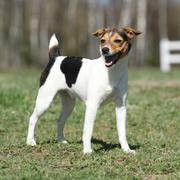 Nice parson russell terrier in nature Stock Photos