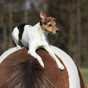 Brave parson russell terrier lying on horse back Stock Photos