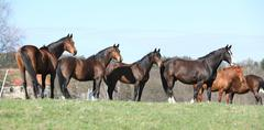 batch of horses standing on pasturage - stock photo