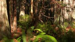 Redwood Forest Detail Steadicam Side View Ferns and Trunks Shady Dep Stock Footage