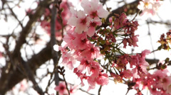 Cherry Blossom Trees -Close Up- Stock Footage