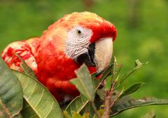 Red Scarlet Macaw Parrot Hiding In The Bushes - stock photo
