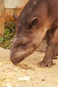 Stock Photo of tapirus terrestris taking his lunch, amazonia reservation, south america