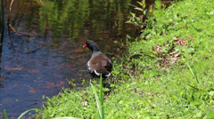 Red billed duck foraging for food along bank of lake, no audio Stock Footage