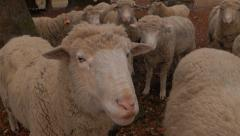 Sheep Herd Close 1 Stock Footage
