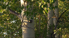 Shifting Late Afternoon Sunlight on Birch Trees Leaves Timelapse Stock Footage