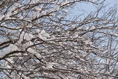 snow on the bare branches of a tree - stock photo