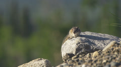 Squeaking Chipmunk on a Rock in the Morning Sun Stock Footage