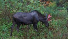 Young Bull Moose with Ruddy Antlers Browsing in Rain High Angle Stock Footage
