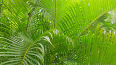 Sunlight through the palm leaves, Costa Rica Stock Footage
