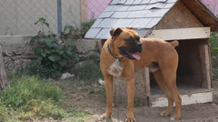 Big tan dog on chain, stands and pants in front of dog house Stock Footage