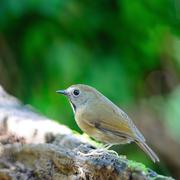 White-gorgeted flycatcher Stock Photos