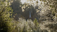 Stock Video Footage of white church steeple through flower blossom tree