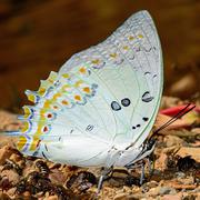 Jewelled nawab butterfly Stock Photos