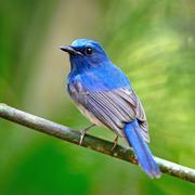 male hainan blue flycatcher - stock photo