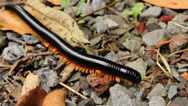 Stock Video Footage of A large venomous millipede on the ground