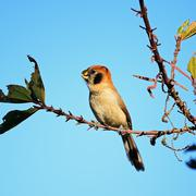 Spot-breasted parrotbill Stock Photos