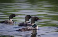 Stock Photo of Alaskan Loons
